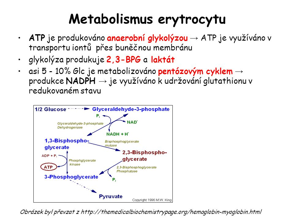 Metabolismus erytrocytu