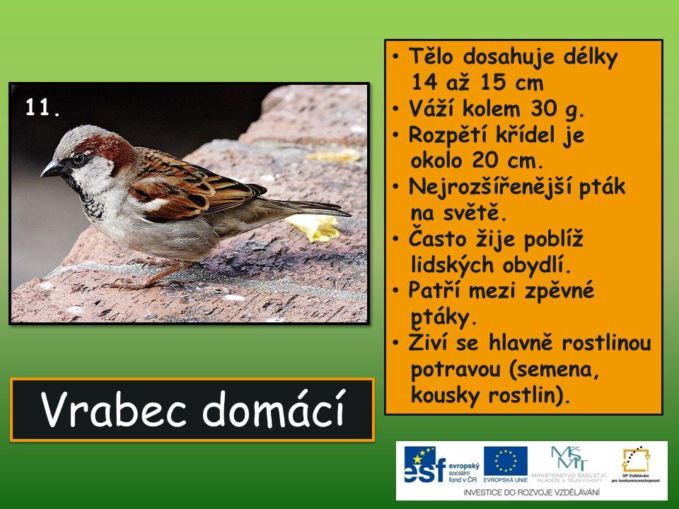 Vrabec domácí 11. Tělo dosahuje délky 14 až 15 cm Váží kolem 30 g.