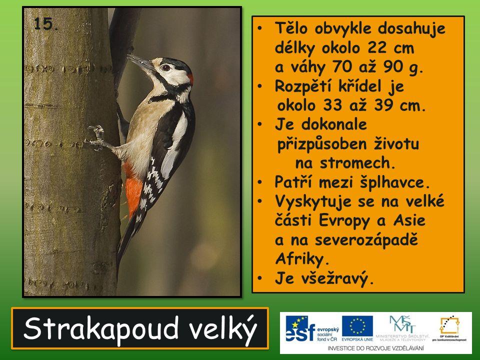 15. Tělo obvykle dosahuje délky okolo 22 cm a váhy 70 až 90 g. Rozpětí křídel je. okolo 33 až 39 cm.