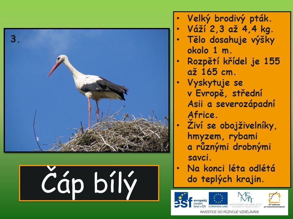 Čáp bílý 3. Velký brodivý pták. Váží 2,3 až 4,4 kg.