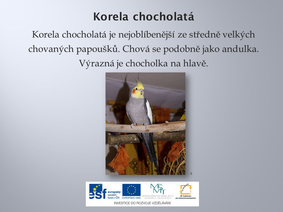 Korela chocholatá