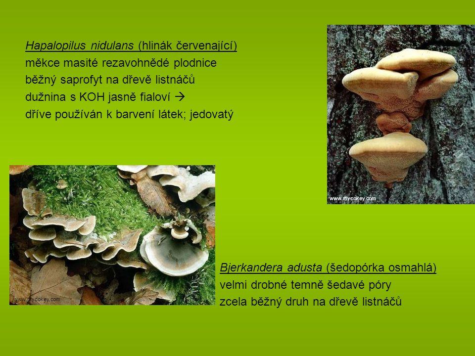 Hapalopilus nidulans (hlinák červenající)