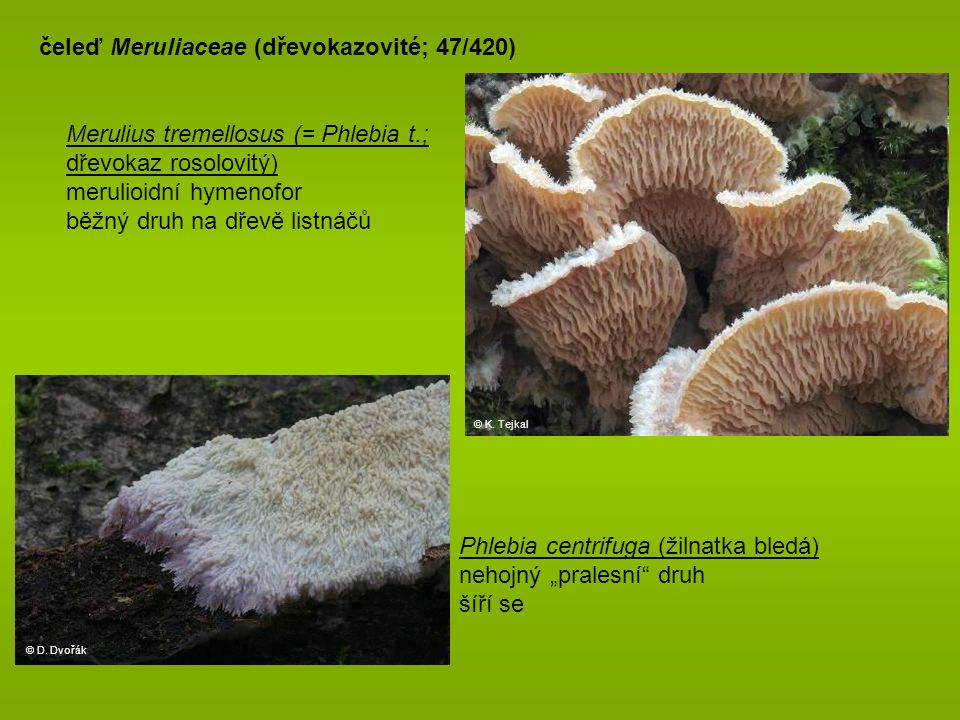 čeleď Meruliaceae (dřevokazovité; 47/420)