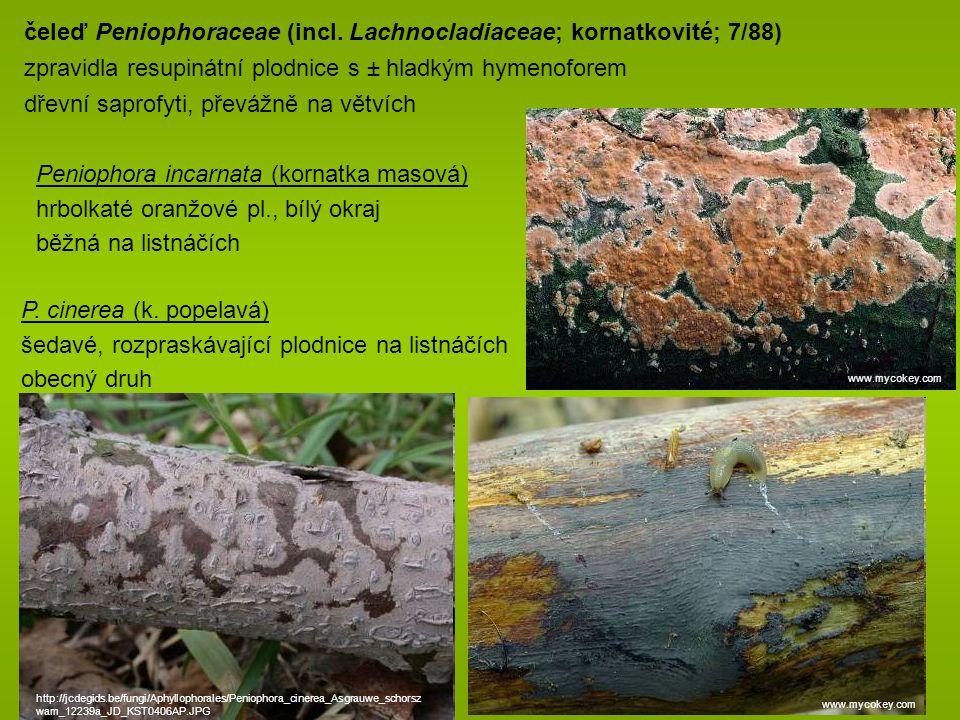 čeleď Peniophoraceae (incl. Lachnocladiaceae; kornatkovité; 7/88)