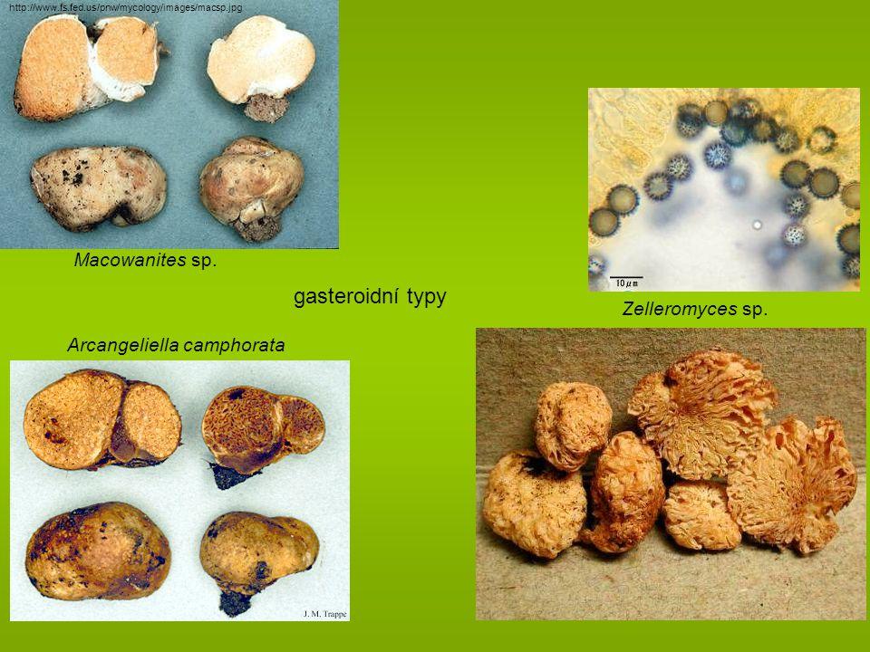 gasteroidní typy Macowanites sp. Zelleromyces sp.