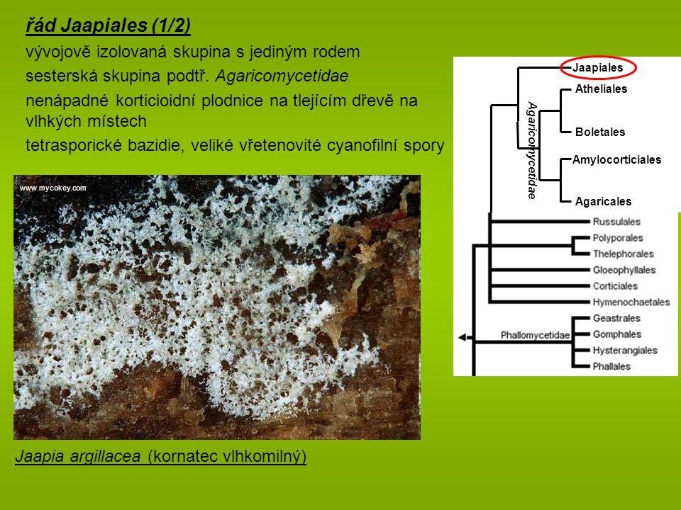 řád Jaapiales (1/2) vývojově izolovaná skupina s jediným rodem