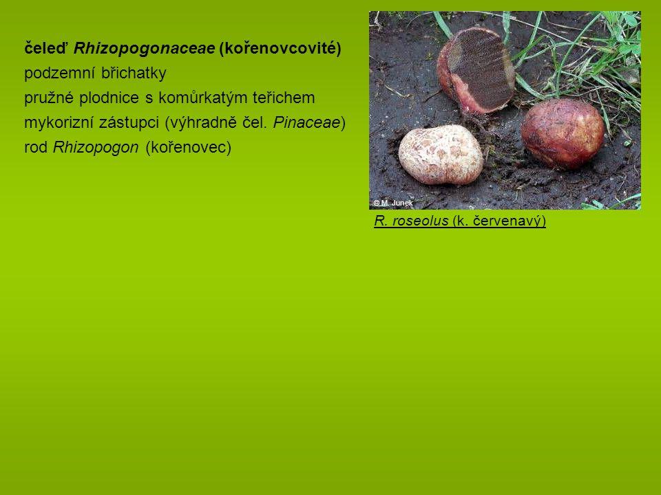 čeleď Rhizopogonaceae (kořenovcovité) podzemní břichatky