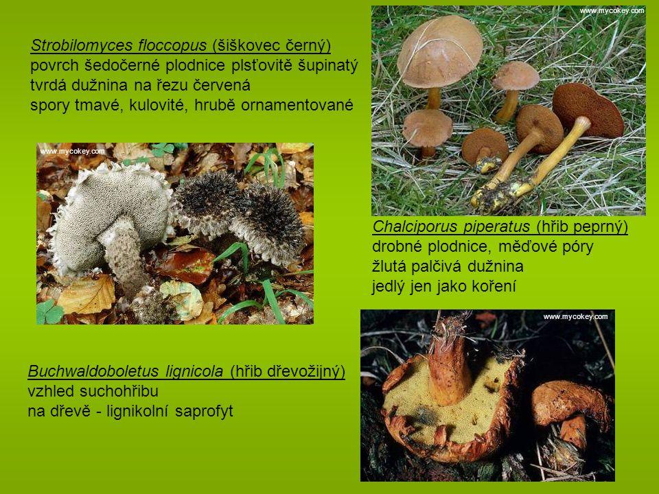 Strobilomyces floccopus (šiškovec černý)