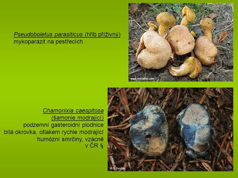 Pseudoboletus parasiticus (hřib příživný) mykoparazit na pestřecích