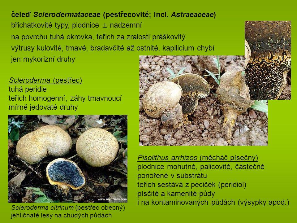 čeleď Sclerodermataceae (pestřecovité; incl. Astraeaceae)