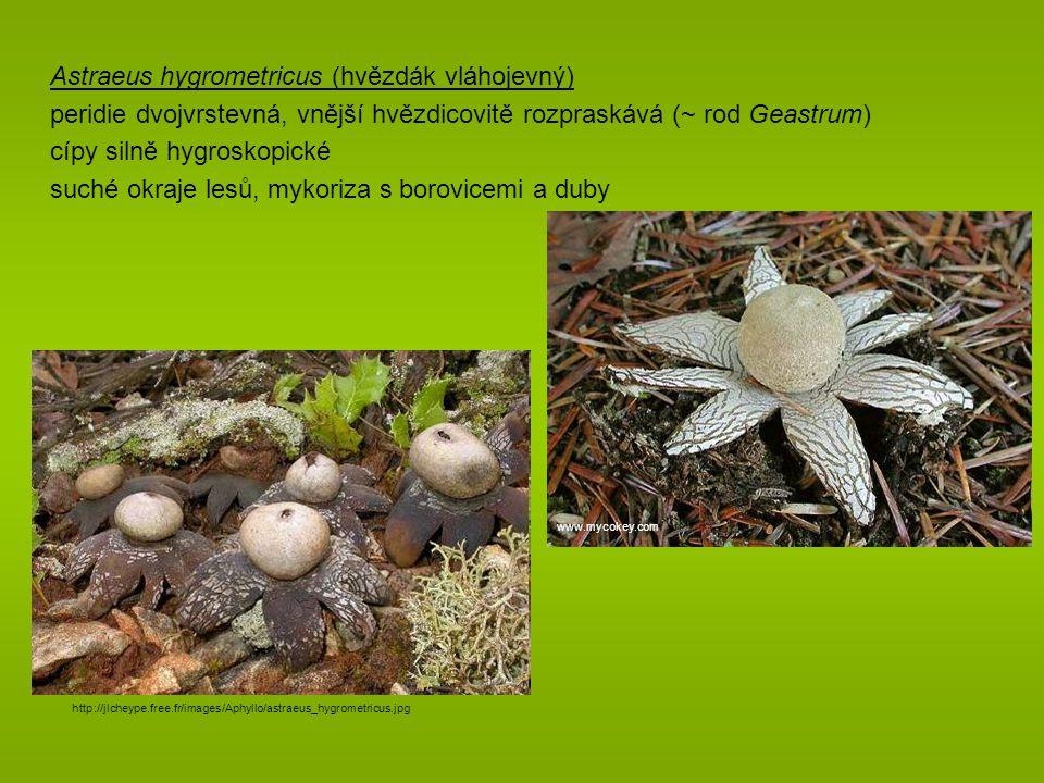 Astraeus hygrometricus (hvězdák vláhojevný)
