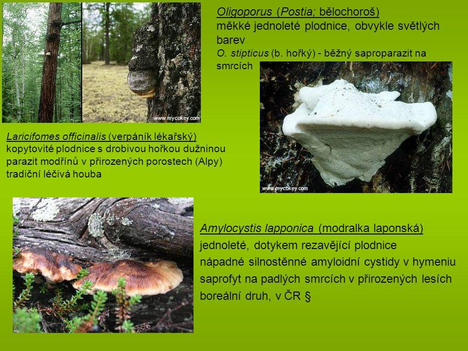 Oligoporus (Postia; bělochoroš)