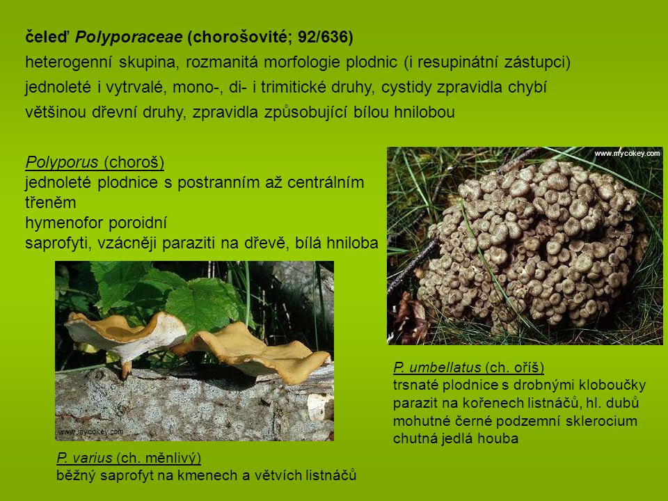 čeleď Polyporaceae (chorošovité; 92/636)