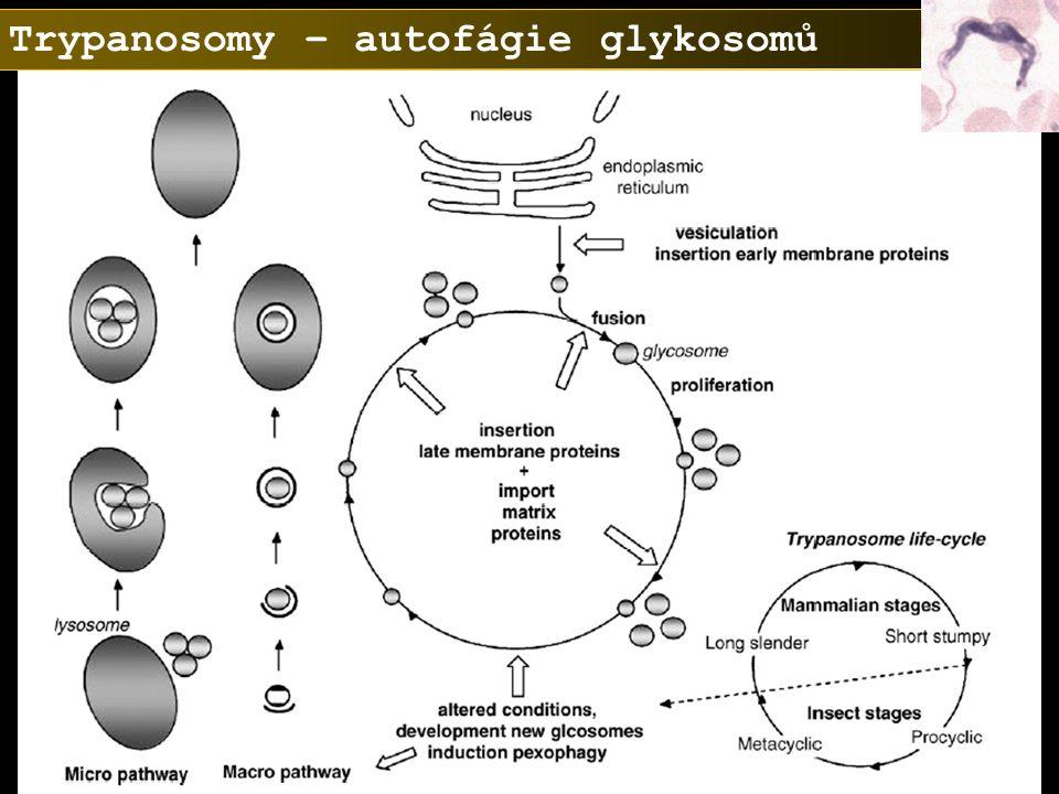 Trypanosomy – autofágie glykosomů