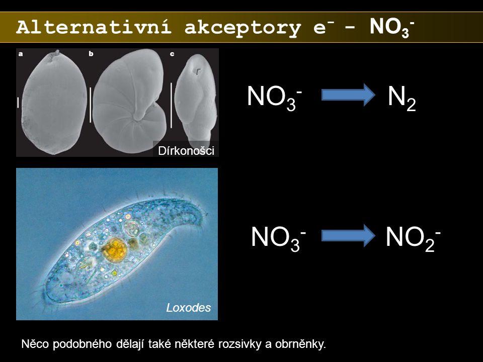NO3- N2 NO3- NO2- Alternativní akceptory e- - NO3- Dírkonošci Loxodes