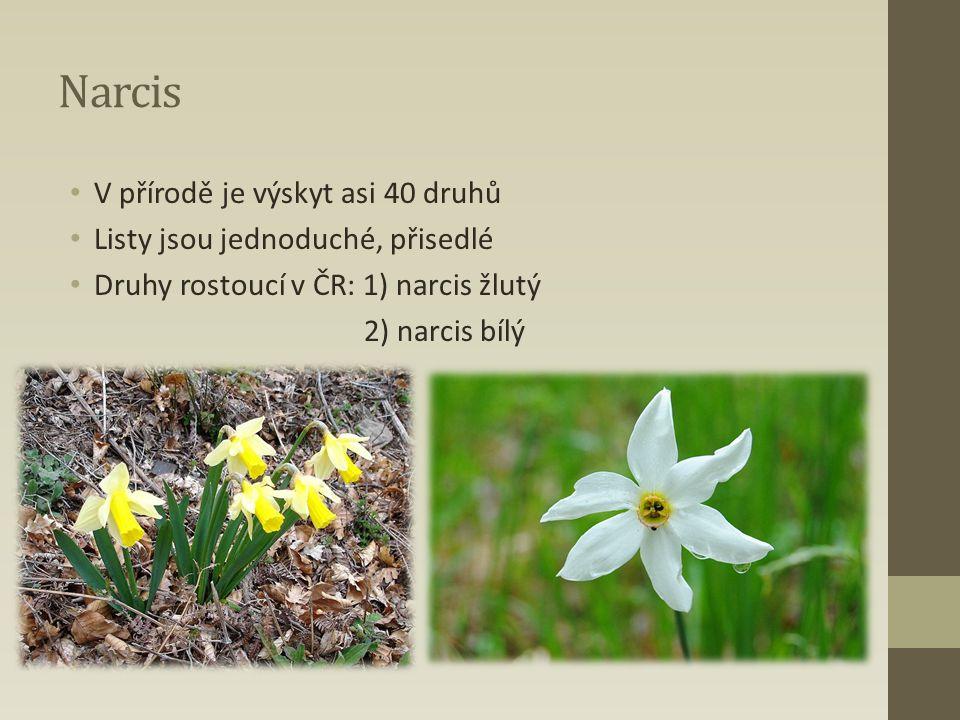 Narcis V přírodě je výskyt asi 40 druhů