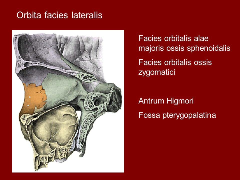 Orbita facies lateralis