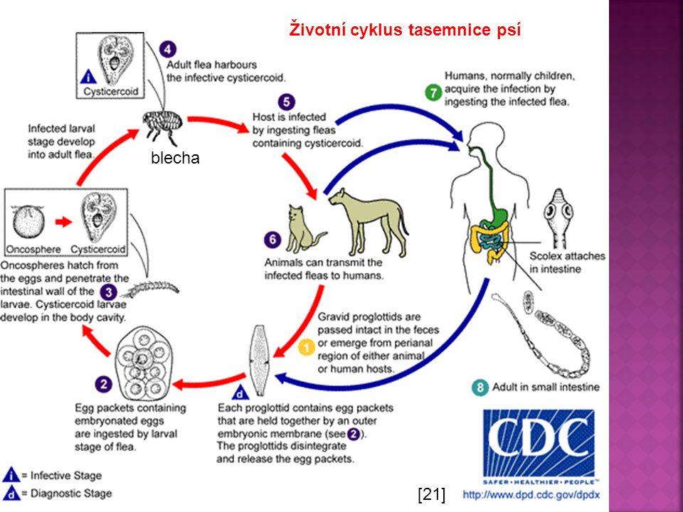 Životní cyklus tasemnice psí