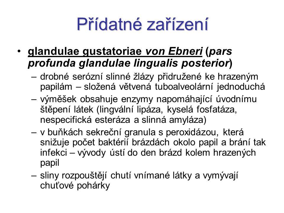 Přídatné zařízení glandulae gustatoriae von Ebneri (pars profunda glandulae lingualis posterior)