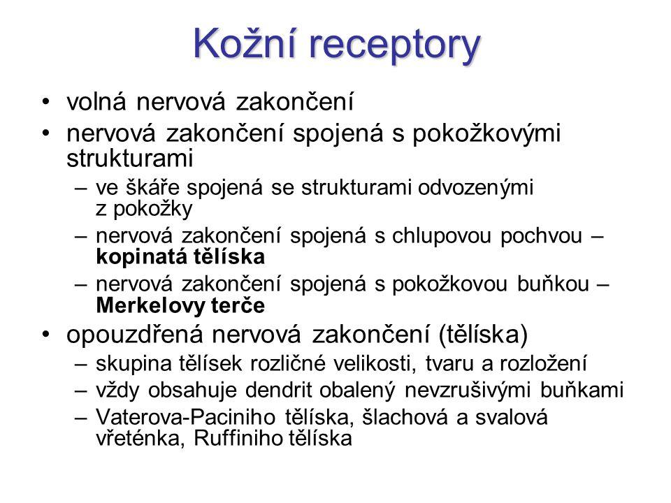 Kožní receptory volná nervová zakončení