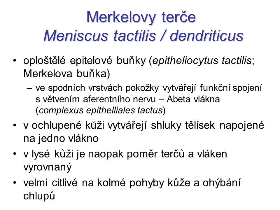Merkelovy terče Meniscus tactilis / dendriticus