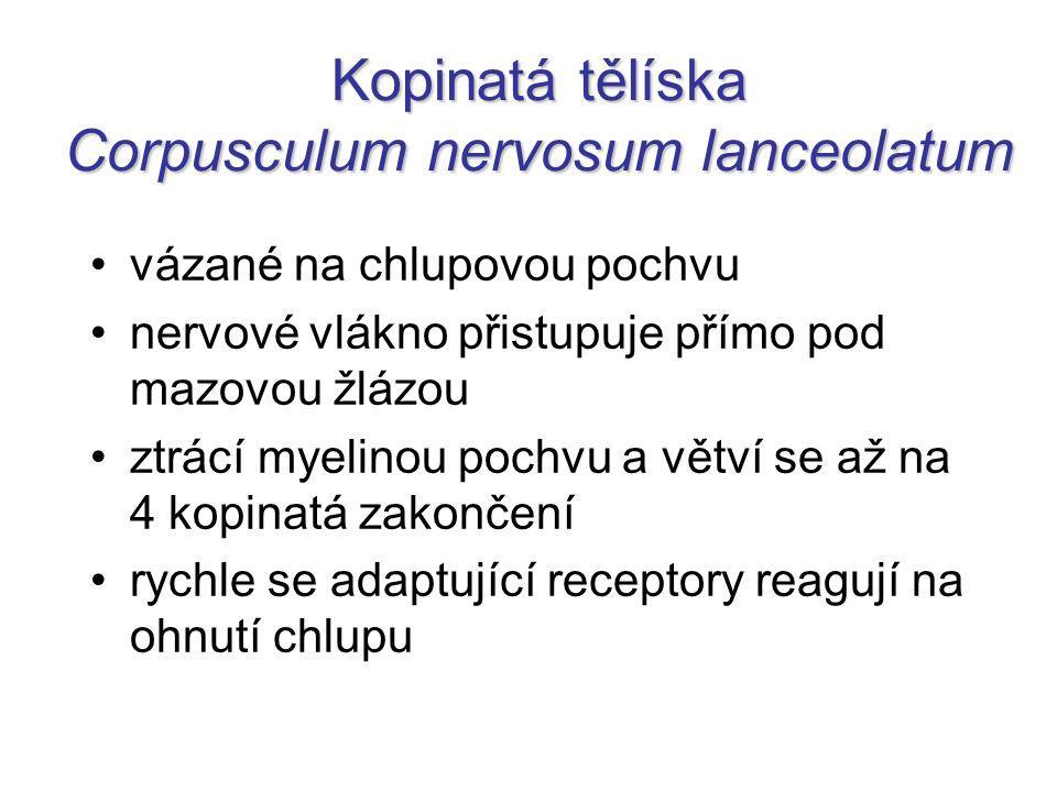Kopinatá tělíska Corpusculum nervosum lanceolatum