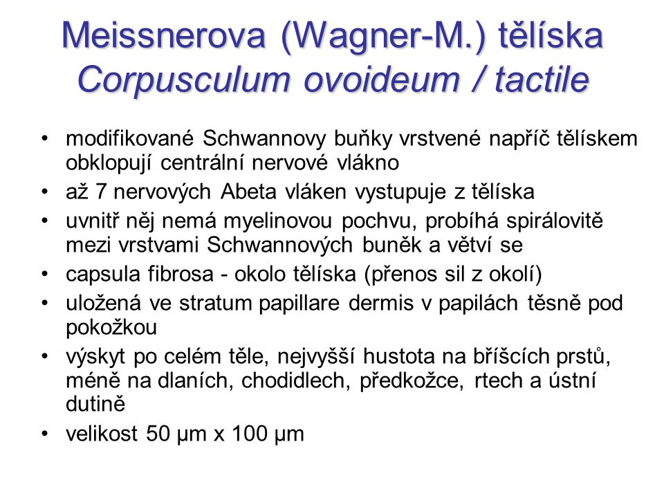 Meissnerova (Wagner-M.) tělíska Corpusculum ovoideum / tactile