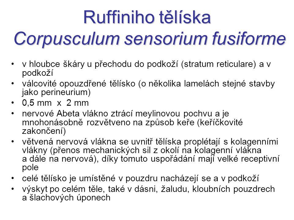 Ruffiniho tělíska Corpusculum sensorium fusiforme