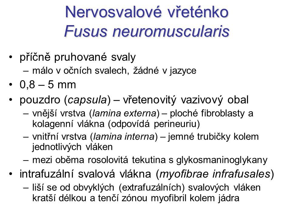 Nervosvalové vřeténko Fusus neuromuscularis