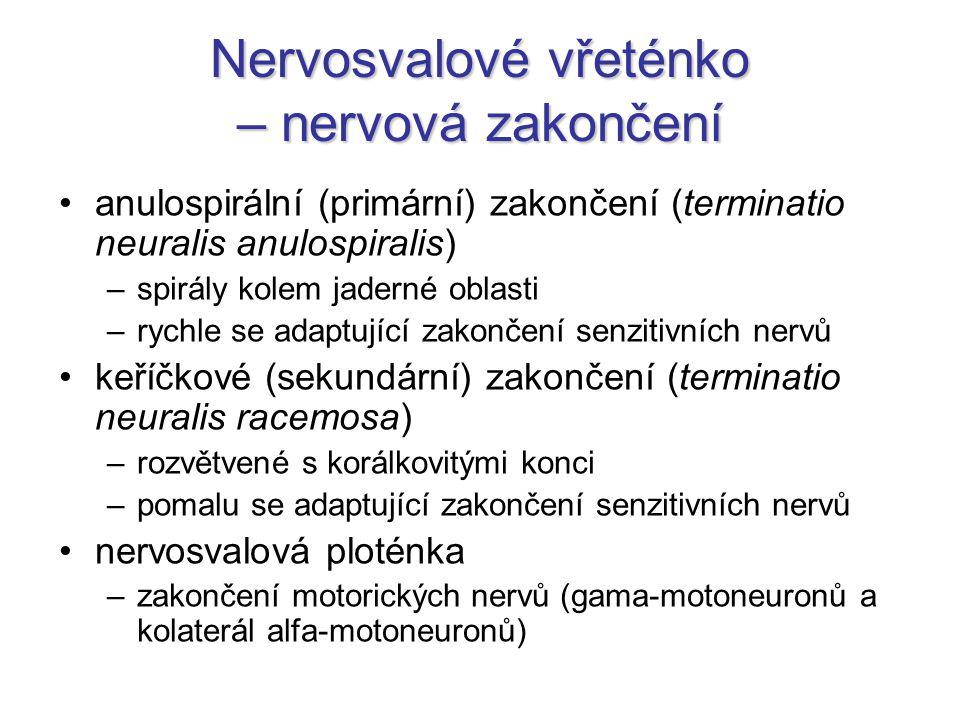 Nervosvalové vřeténko – nervová zakončení