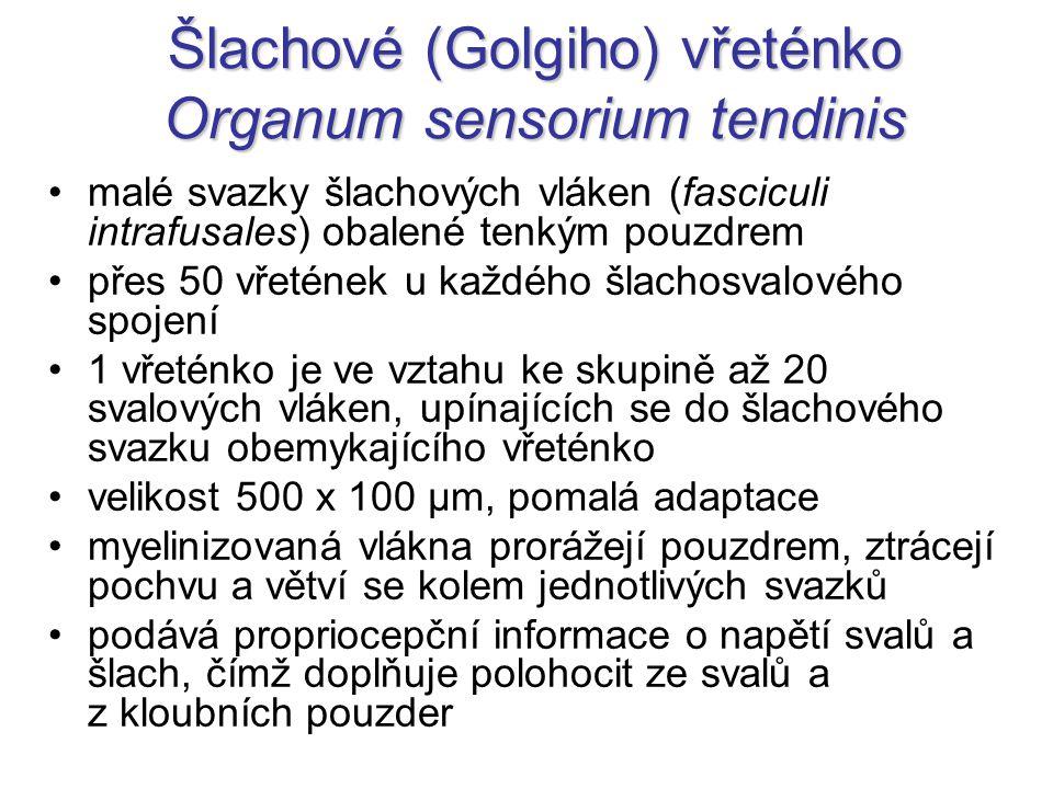 Šlachové (Golgiho) vřeténko Organum sensorium tendinis