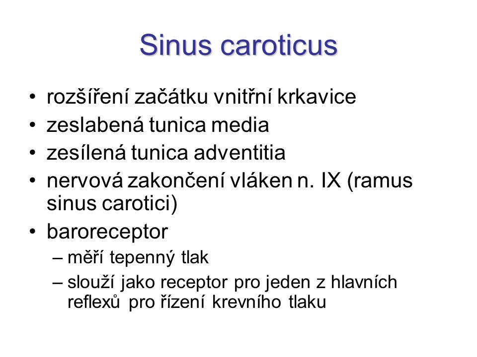 Sinus caroticus rozšíření začátku vnitřní krkavice