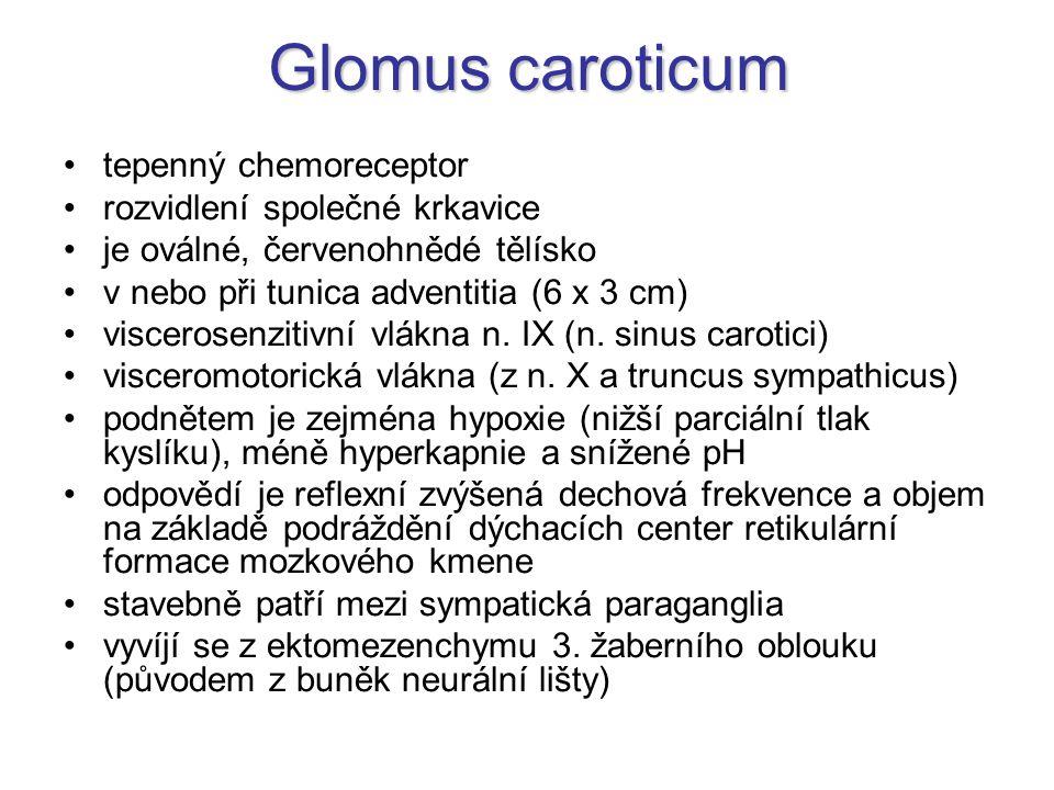 Glomus caroticum tepenný chemoreceptor rozvidlení společné krkavice