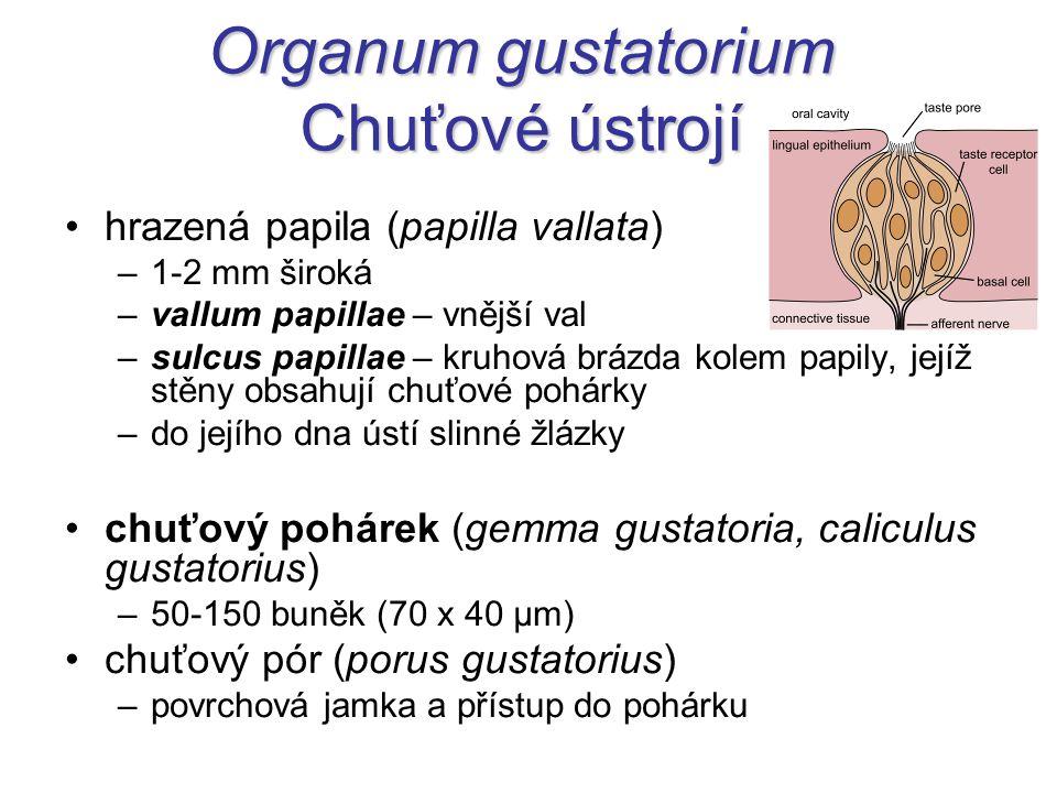 Organum gustatorium Chuťové ústrojí
