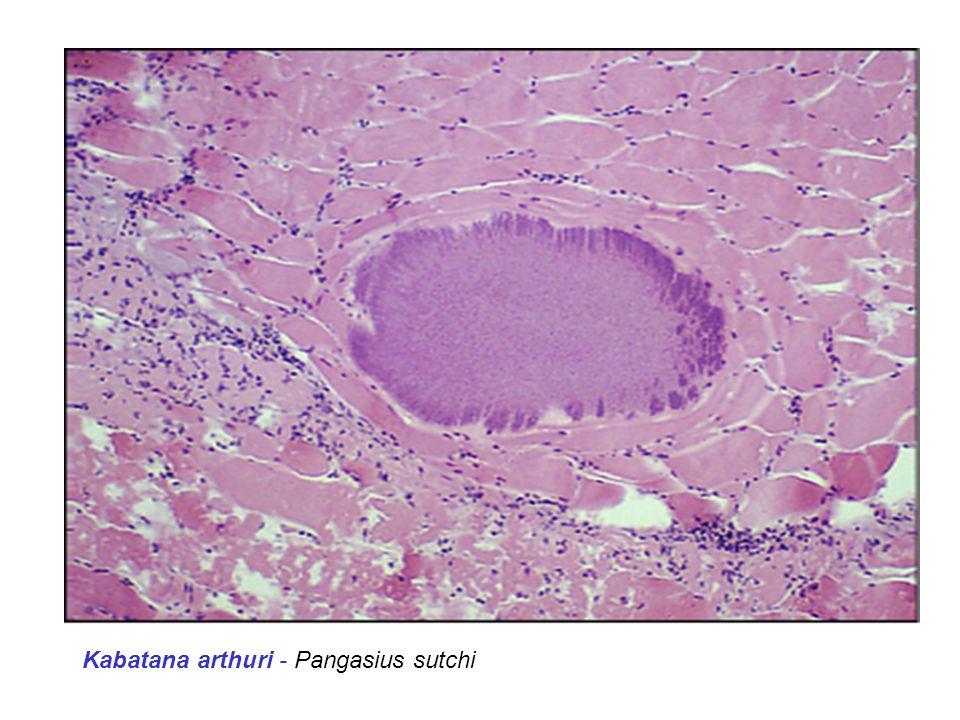 Kabatana arthuri - Pangasius sutchi
