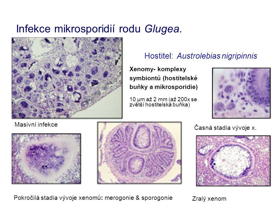 Infekce mikrosporidií rodu Glugea.