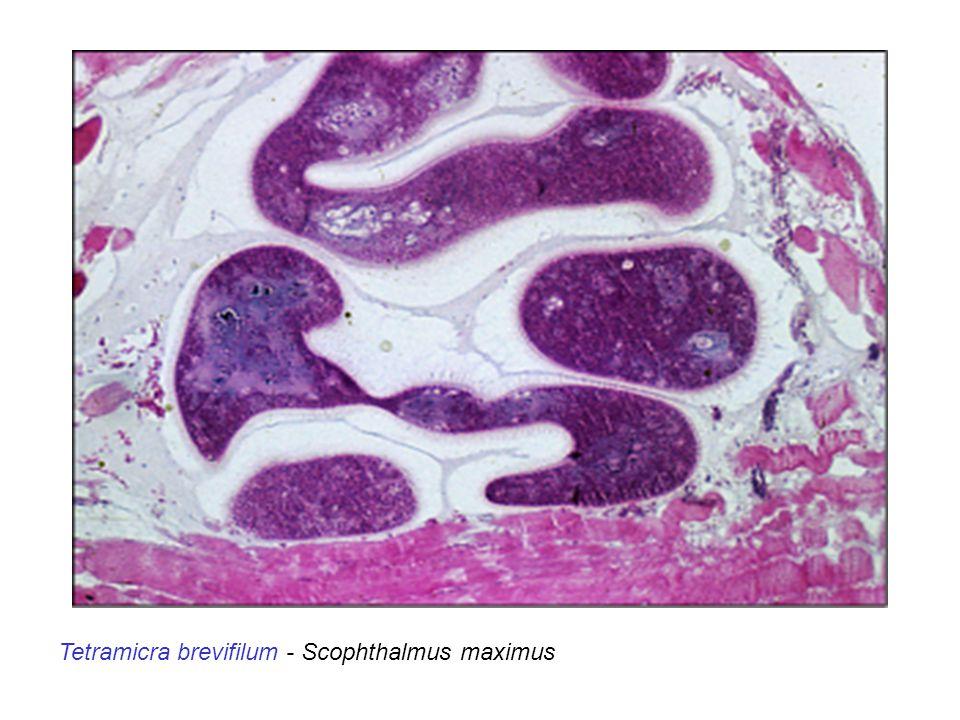 Tetramicra brevifilum - Scophthalmus maximus