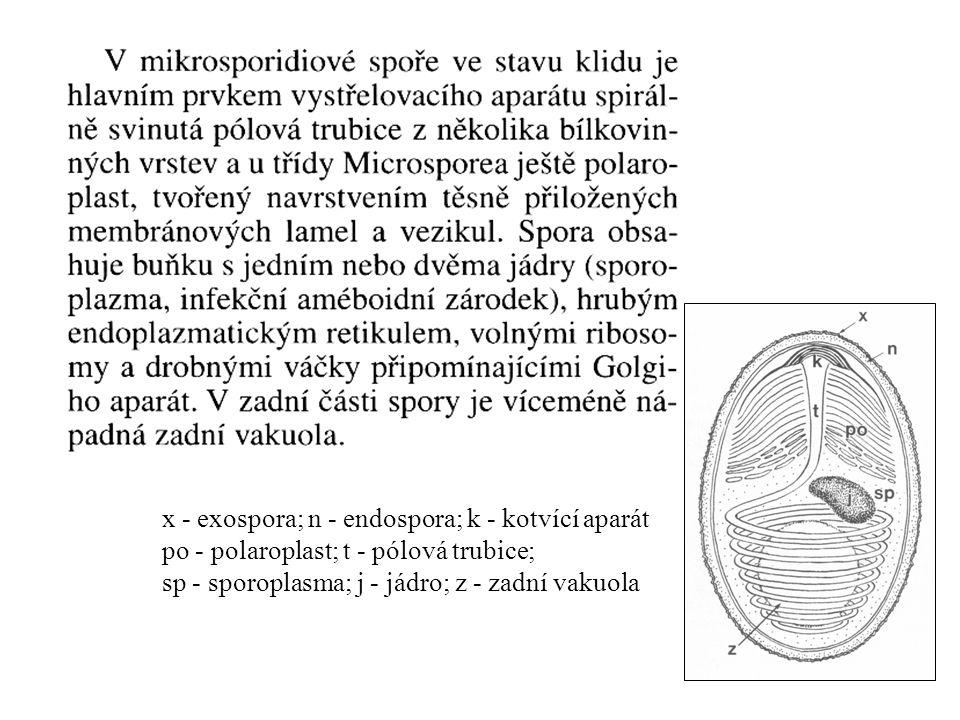 x - exospora; n - endospora; k - kotvící aparát