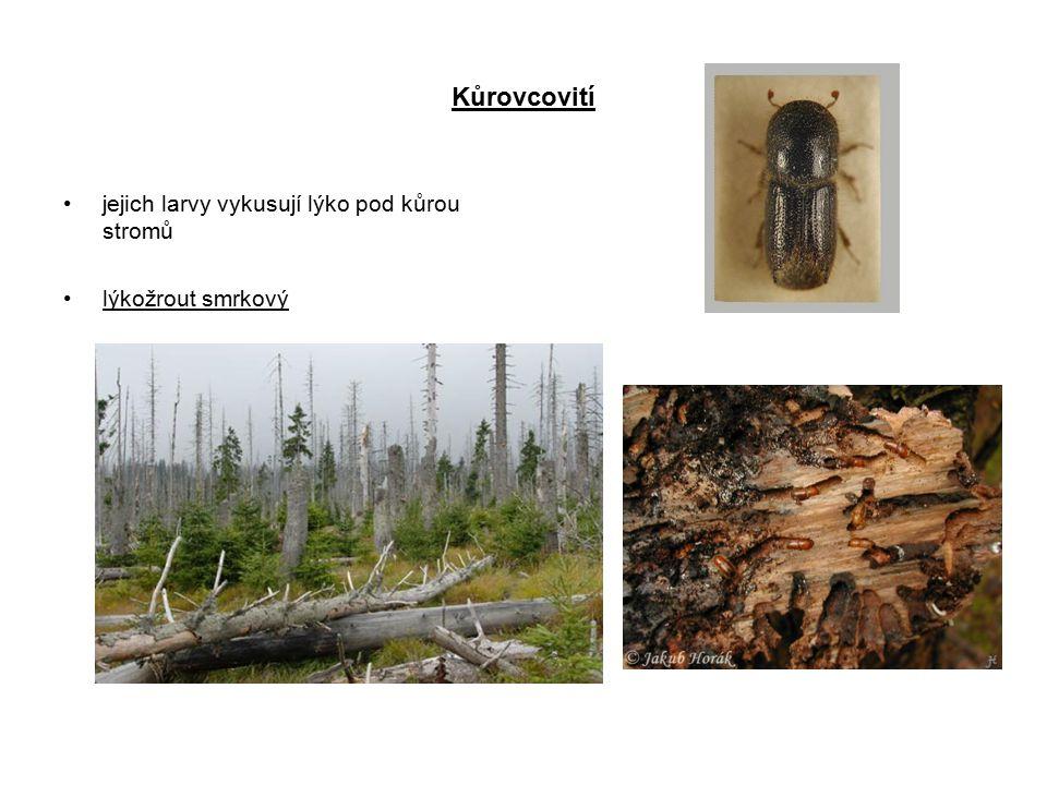 Kůrovcovití jejich larvy vykusují lýko pod kůrou stromů
