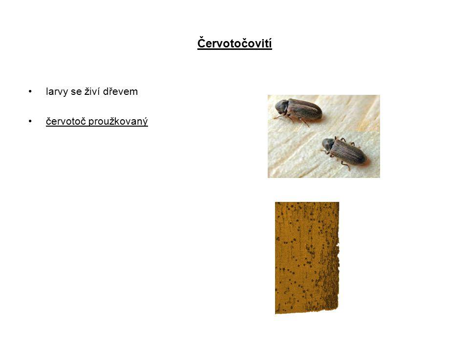 Červotočovití larvy se živí dřevem červotoč proužkovaný