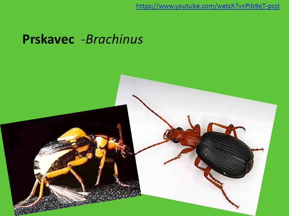 https://www.youtube.com/watch v=Pib9qT-pccI Prskavec -Brachinus