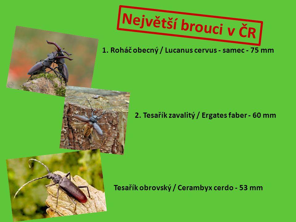 Největší brouci v ČR 1. Roháč obecný / Lucanus cervus - samec - 75 mm