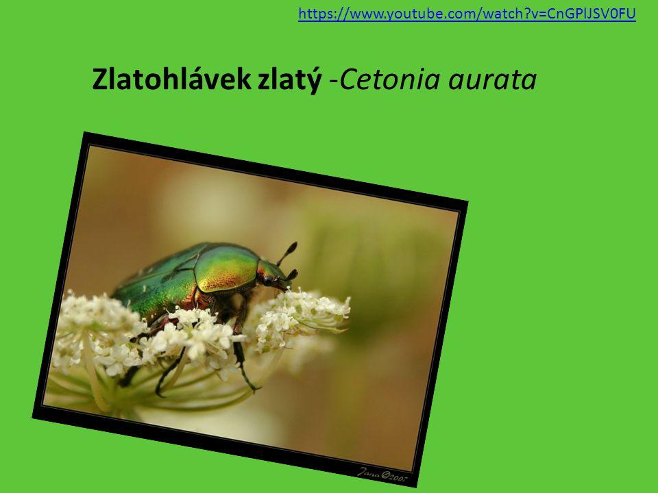 Zlatohlávek zlatý -Cetonia aurata