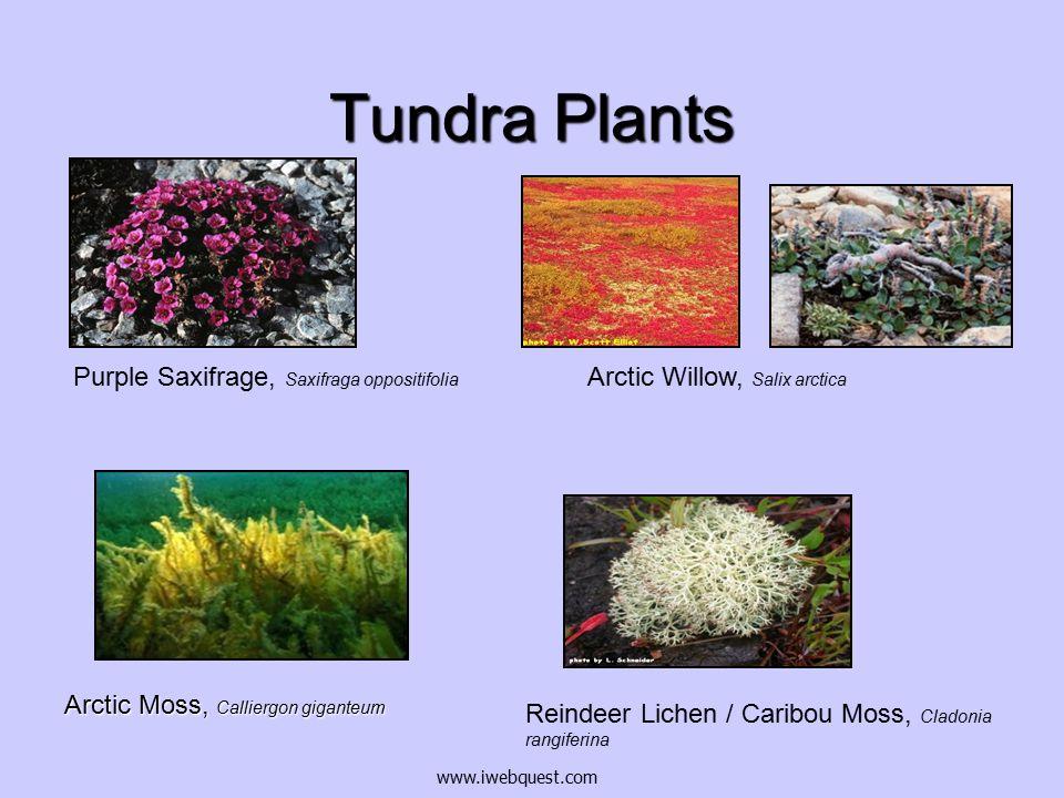 Tundra Plants Purple Saxifrage, Saxifraga oppositifolia
