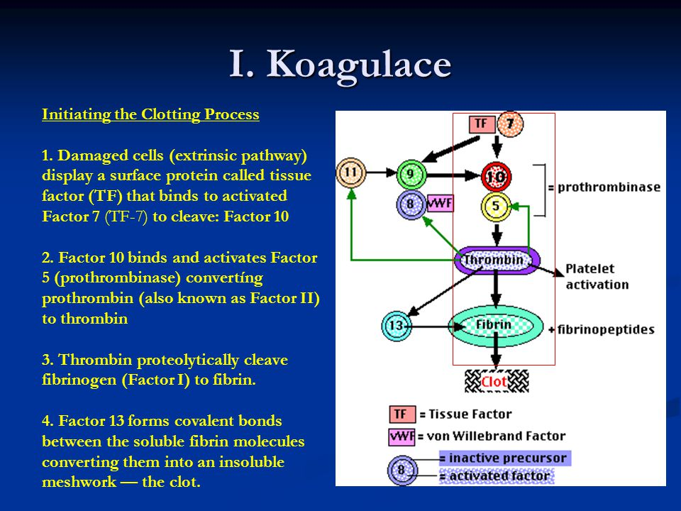 I. Koagulace Initiating the Clotting Process