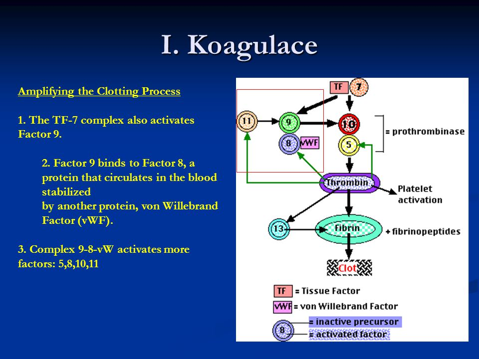 I. Koagulace Amplifying the Clotting Process