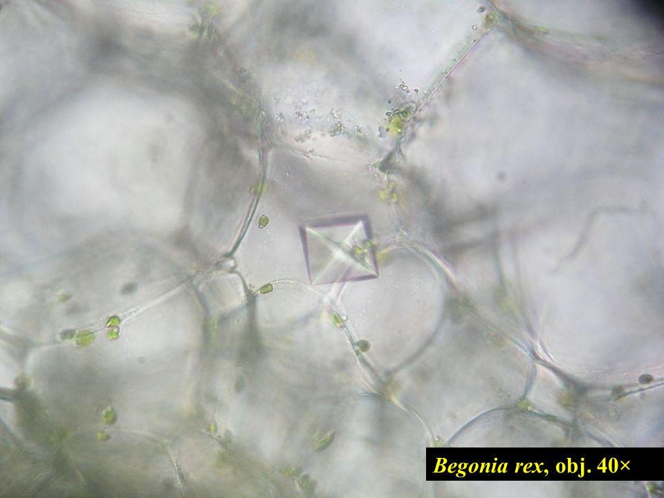 Begonia rex, obj. 40× 13