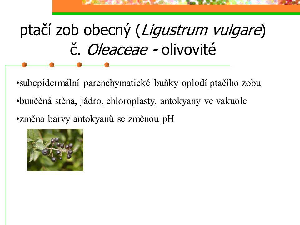 ptačí zob obecný (Ligustrum vulgare) č. Oleaceae - olivovité