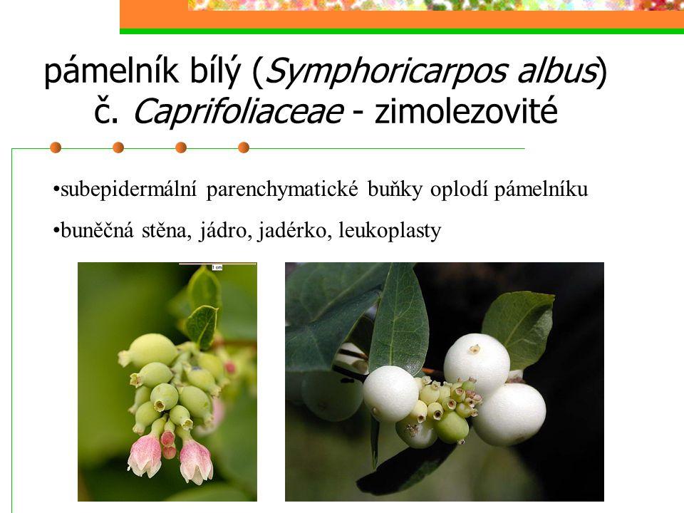 pámelník bílý (Symphoricarpos albus) č. Caprifoliaceae - zimolezovité