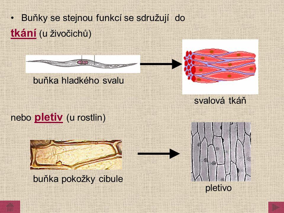 tkání (u živočichů) Buňky se stejnou funkcí se sdružují do